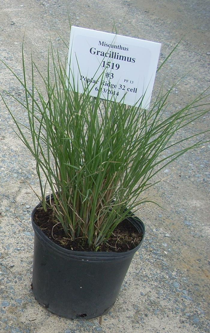 miscanthus sinensis gracillimus marshalls 39 riverbank nursery. Black Bedroom Furniture Sets. Home Design Ideas
