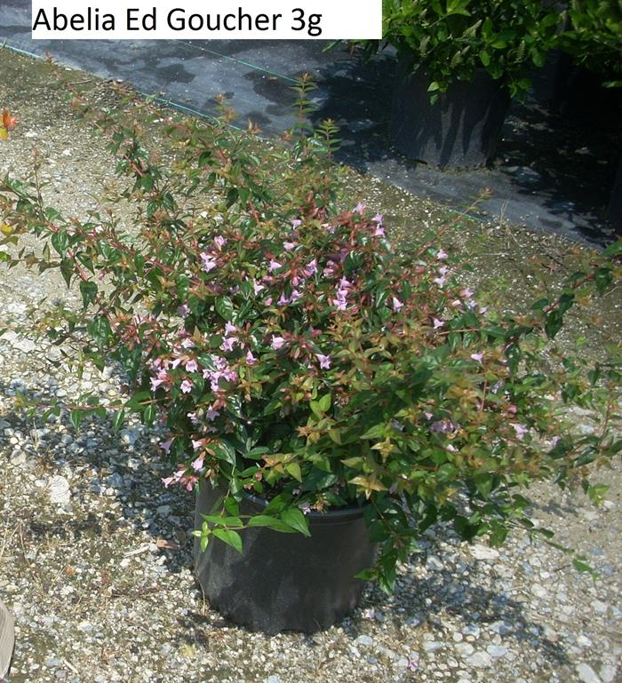 Abelia Grandiflora Edward Goucher Marshalls Riverbank Nursery